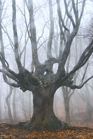 big dead tree in foggy forest Stock Photo