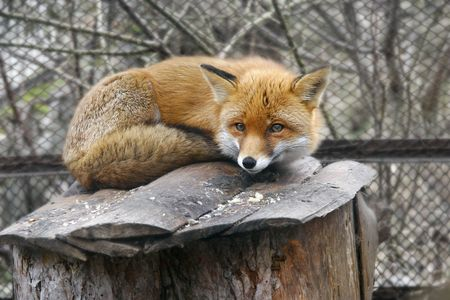 guile: red fox in zoo Stock Photo