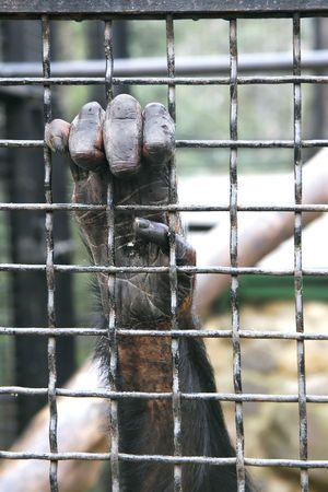 imprisoned: monkey hand grabbing metal bars Stock Photo