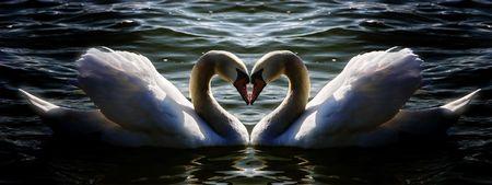 cisnes: coraz�n del cisne