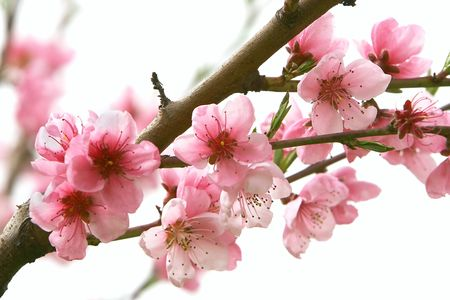 close up of peach flowers over white Stock Photo