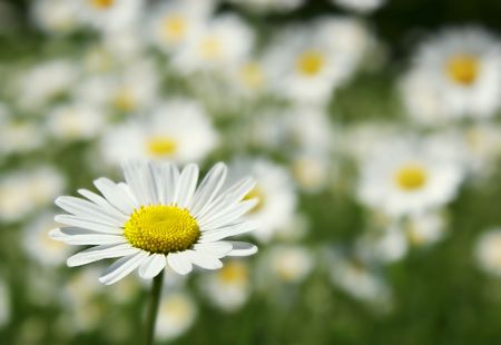 up close image: daisy flower on field background