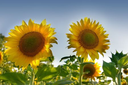 ove: two sun flowers ove sky background