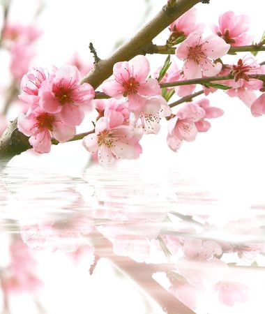 peach flowers and its reflection over white