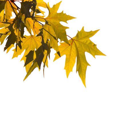 autumn leaves over white photo