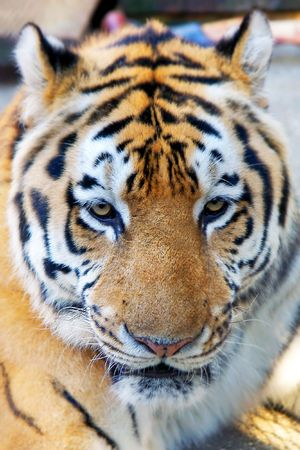 close up of tiger head Stock Photo - 4169830