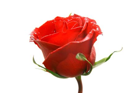 red rose over white photo