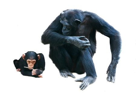 mother and baby chimps over white Stock Photo