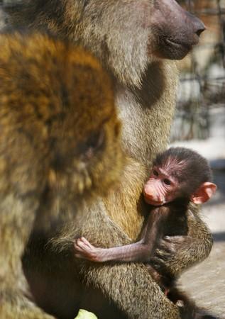 breastfeed: familia de babuino con beb�  Foto de archivo