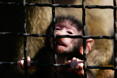 close up portrait of baboon monkey baby in cage photo