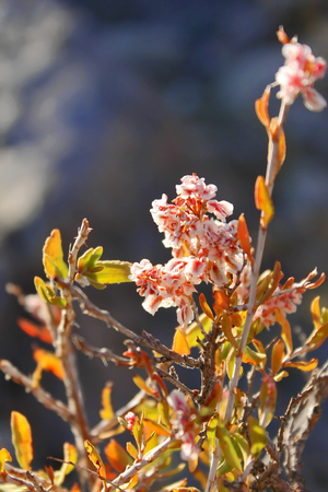 rapidly: Rapidly blooming Asian shrub Haloxylon.