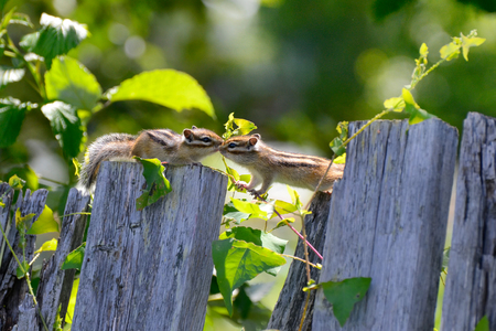 resourceful: Chipmunk small striped rodent of the squirrel family. The photo Siberian chipmunk. Stock Photo