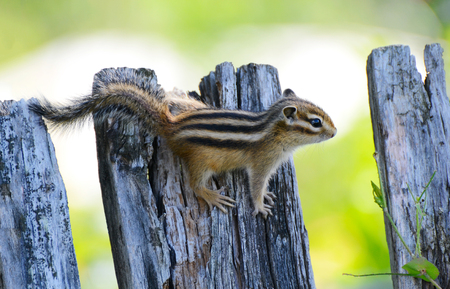 Chipmunk small striped rodent of the squirrel family. The photo Siberian chipmunk. Stock Photo