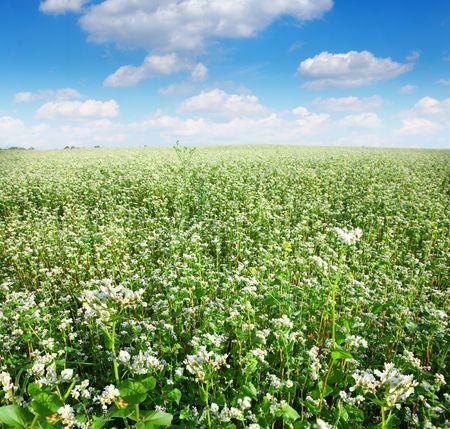 field of buckwheat Stock Photo - 5328943