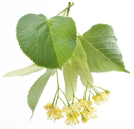 limetree: Flowers of linden-tree on a white background