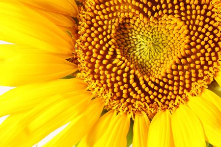 stamens in the form of heart on a sunflower photo