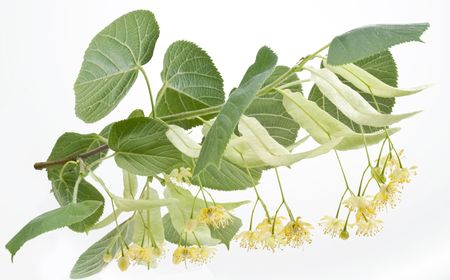 Flowers of linden-tree on a white background photo