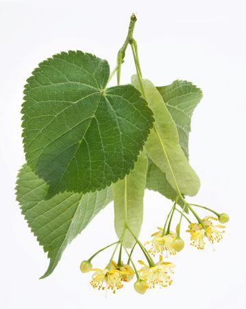 linden tea: Flowers of linden-tree on a white background