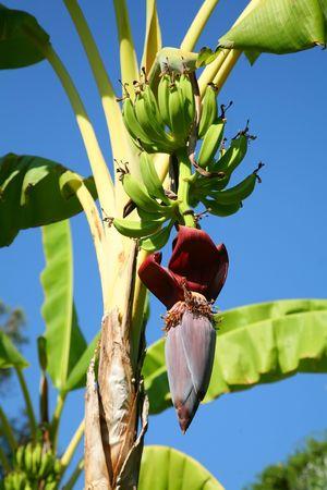 copula: Bananas on a palm