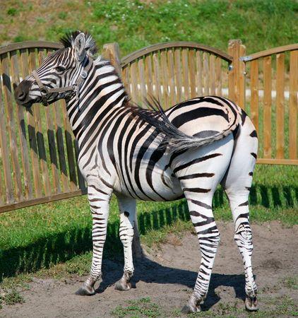 poaching: A zebra standing near wooden fence
