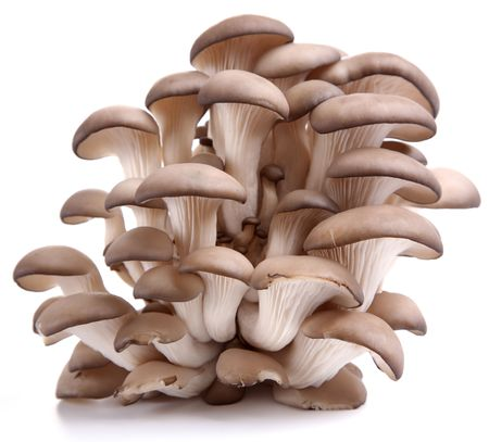 Oyster mushrooms on a white background photo