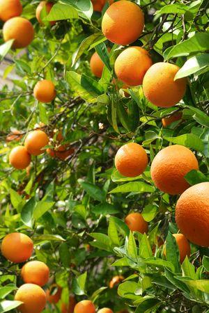 growers: Orange trees with ripe oranges Stock Photo