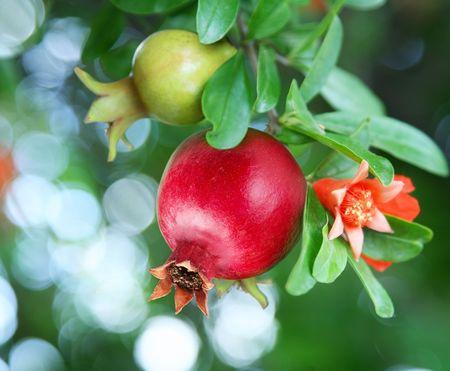 Tak met rijpe granaat appel en granaat appel bloesem Stockfoto