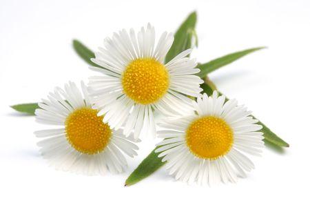 yellow daisy: Macro shot of wild camomiles over white Stock Photo