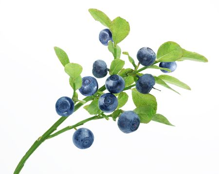 the blueberry: Ripe blueberries on the branch over white.