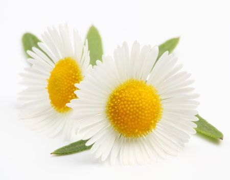simple flower: Macro shot of wild camomiles over white Stock Photo
