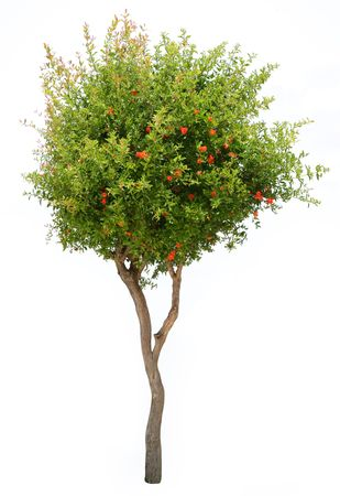 sepal: Pomegranate tree isolated on white background