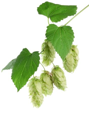 branch of hops on a white background Stock Photo - 7836335