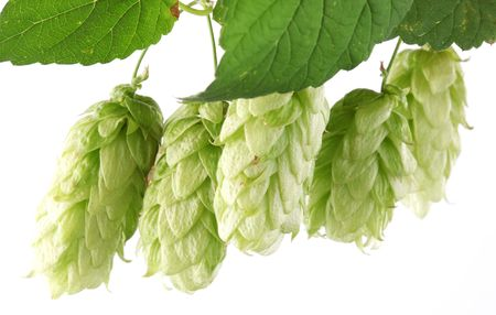 branch of hops on a white background Stock Photo - 7836329