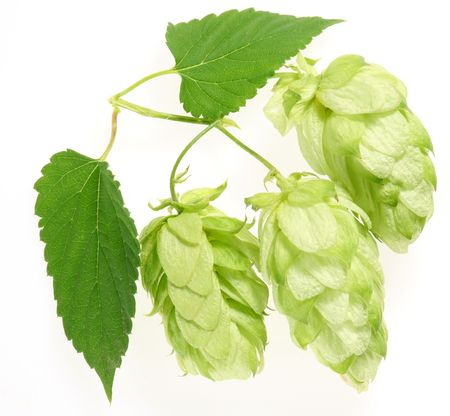 branch of hops on a white background Stock Photo - 7836313