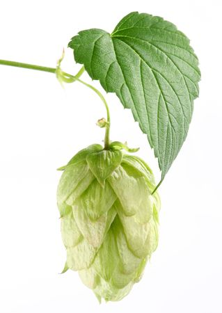 branch of hops on a white background Stock Photo - 7836337