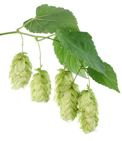 branch of hops on a white background Stock Photo - 7836323