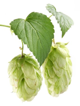 branch of hops on a white background Stock Photo - 7836334