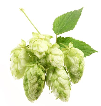 branch of hops on a white background Stock Photo - 7836366