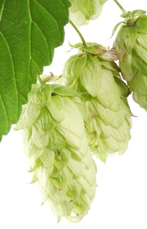 branch of hops on a white background Stock Photo - 7836380