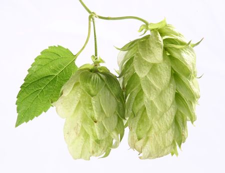 branch of hops on a white background Stock Photo - 7836381