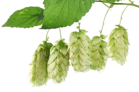 branch of hops on a white background Stock Photo - 7836383