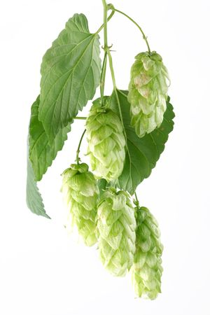 branch of hops on a white background Stock Photo - 7836364