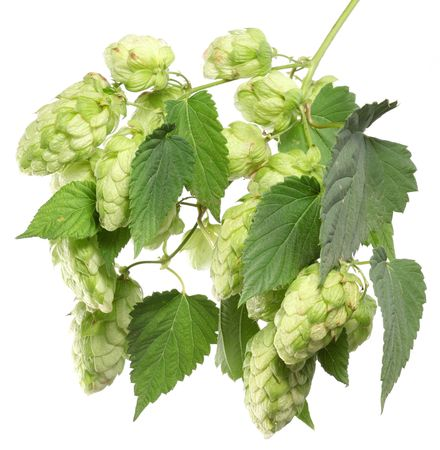 branch of hops on a white background Stock Photo - 7836401