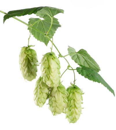 branch of hops on a white background Stock Photo - 7836445