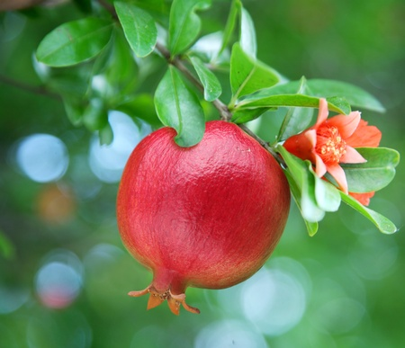 Ripe pomegranate on the branch. The foliage on the background.  Stock Photo - 8296148