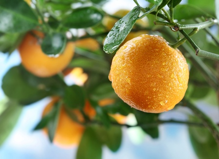 fruit drop: Ripe tangerines on a tree branch. Blue sky on the background.