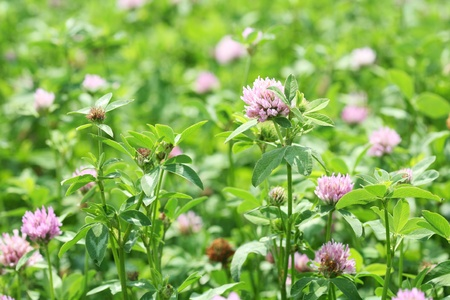 The field of clover flowers. photo