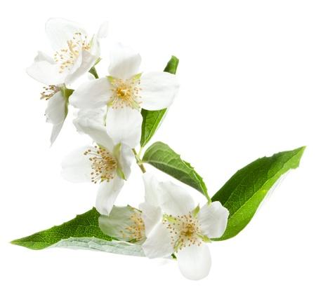 ジャスミンの花は、白い背景で隔離されました。