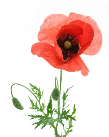 One beautiful red poppy isolated on a white background. photo