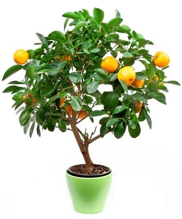 Small tangerines tree on white background. photo